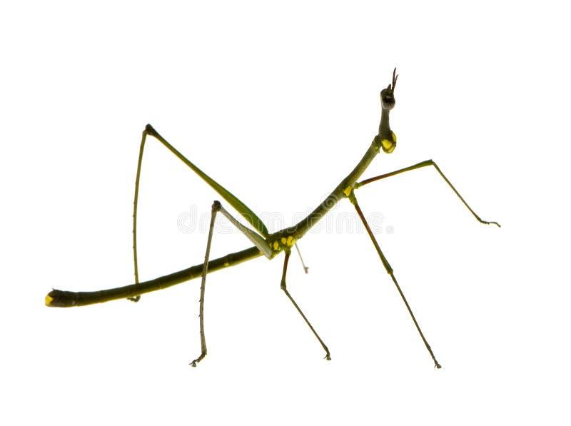 Insecte de bâton, Phasmatodea - peruana d'Oreophoetes photographie stock libre de droits