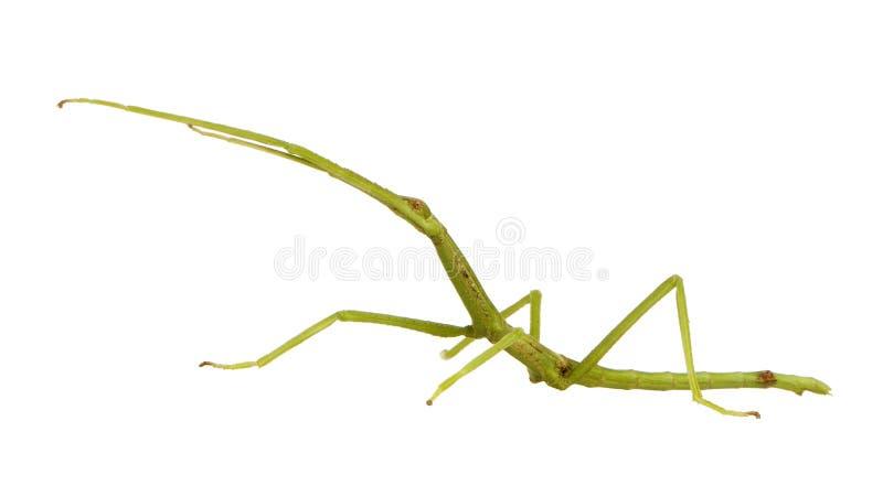 Insecte de bâton, Phasmatodea - ponderasa de pharnacia photos stock