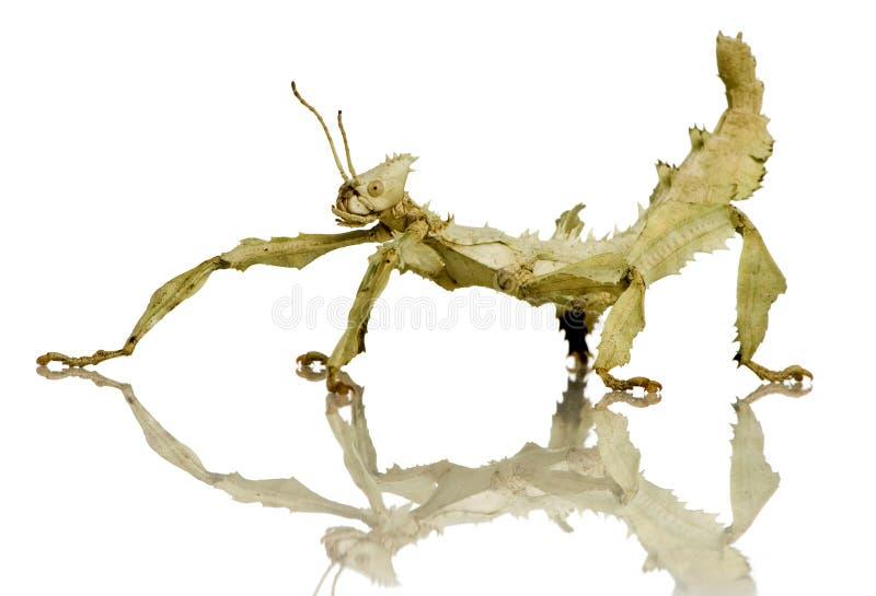 Insecte de bâton, Phasmatodea - tiaratum d'Extatosoma images libres de droits