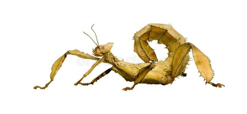 Insecte de bâton, Phasmatodea - tiaratum d'Extatosoma photo stock