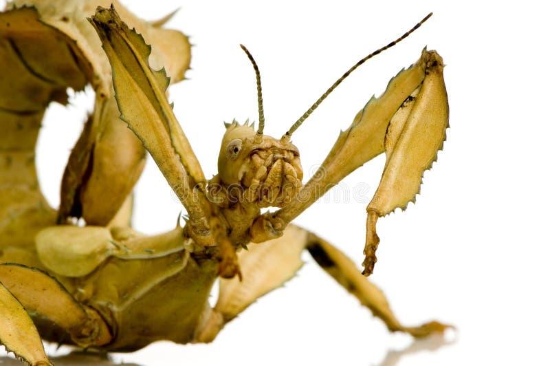 Insecte de bâton, Phasmatodea - tiaratum d'Extatosoma photo libre de droits