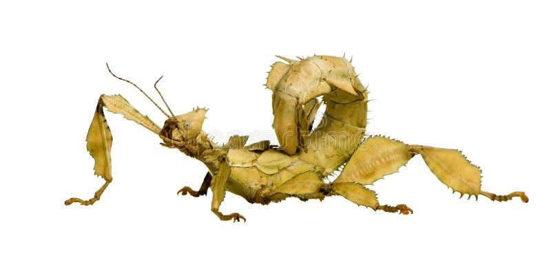 Insecte de bâton, Phasmatodea - tiaratum d'Extatosoma image stock
