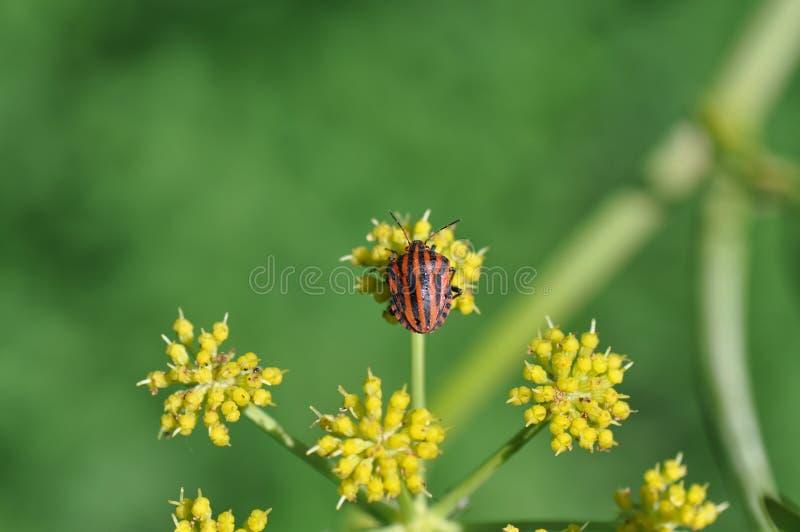 Insecte de bouclier photo stock