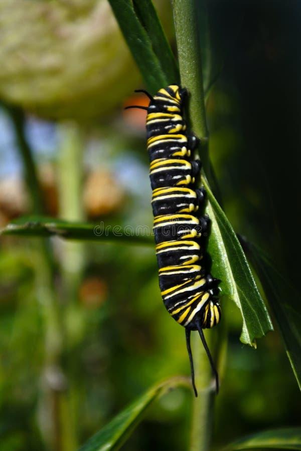 Insecte de chenille de papillon de monarque photos stock