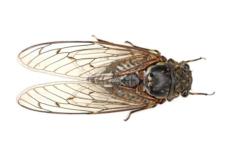 Insecte de cigale image stock