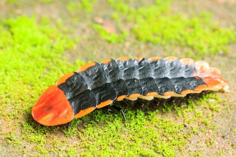 Insecte de foudre image libre de droits