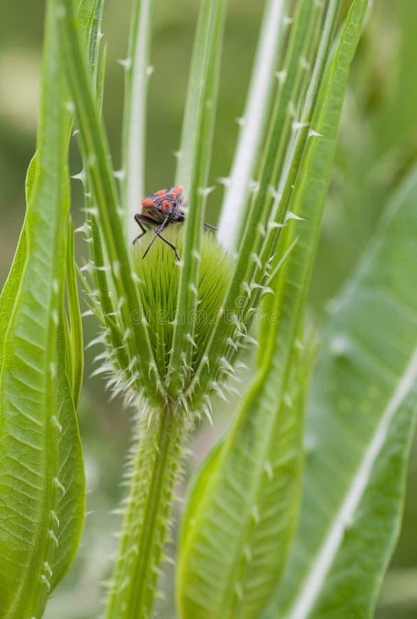 Insecte de graine sur l'usine de cardère sauvage photo libre de droits