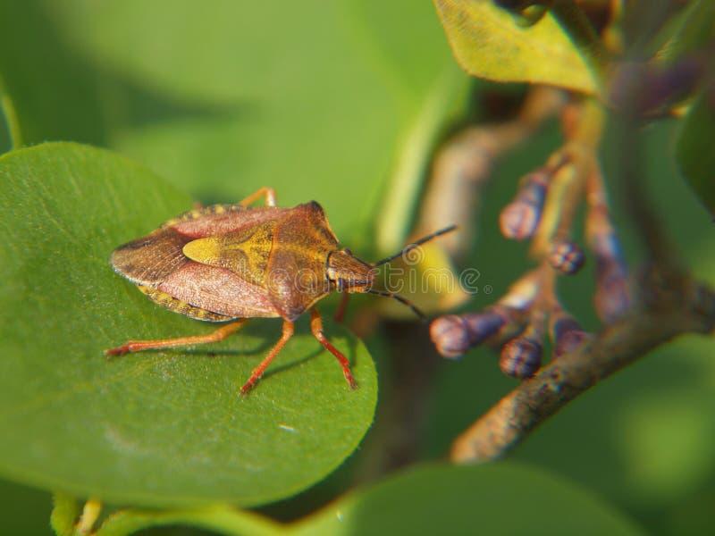 Insecte de jardin sur le Syringa photos libres de droits