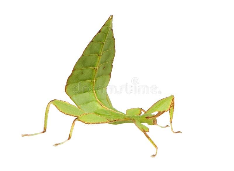 Insecte de lame, Phylliidae - SP de Phyllium image libre de droits