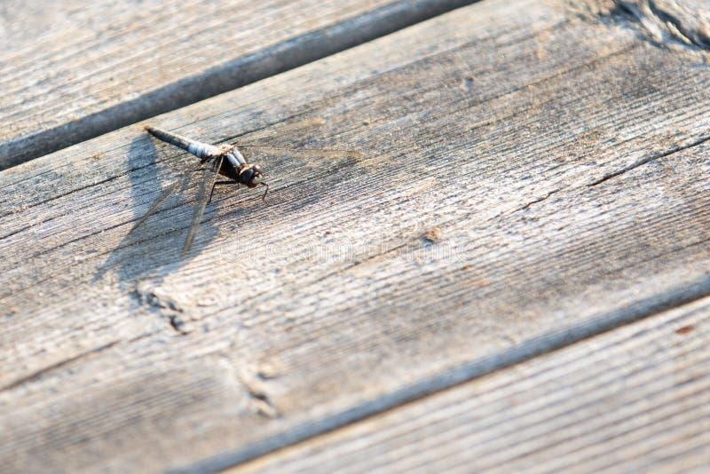 Insecte de libellule se reposant sur le bois pendant l'été photo libre de droits
