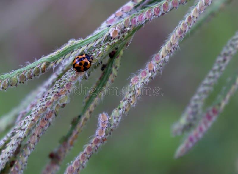 Insecte de Madame explorant une tête de graine d'herbe photographie stock libre de droits