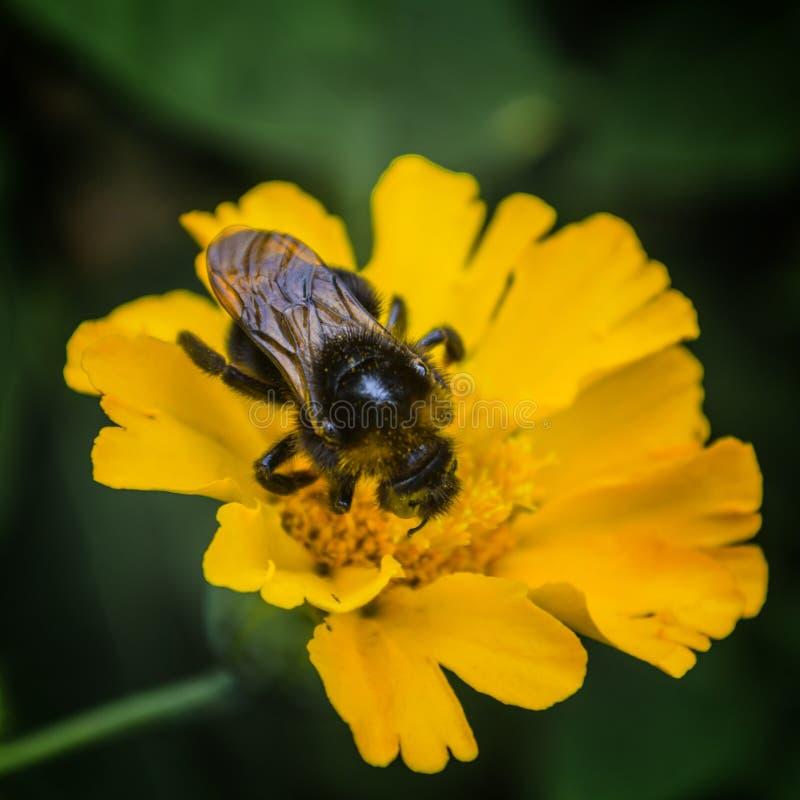 Insecte de miel d'été de jaune d'abeille de fleur photographie stock libre de droits
