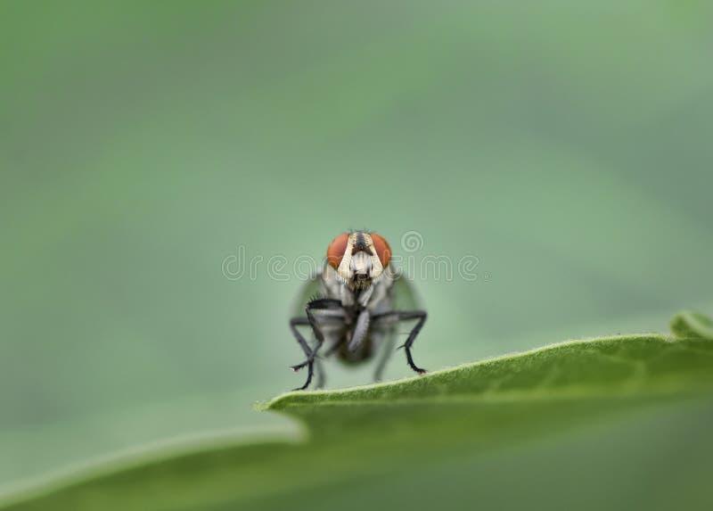 Insecte de mouche image libre de droits