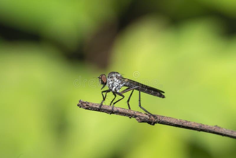 Insecte de mouche de voleur vu au plateau de Kaas, Satara, maharashtra, Inde photos libres de droits