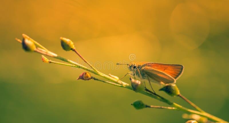 Insecte de papillon de Brown sur une usine dans la fin de couleur  photographie stock libre de droits