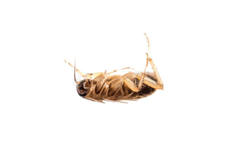 Insecte de parasite de cancrelat d'insecte photographie stock