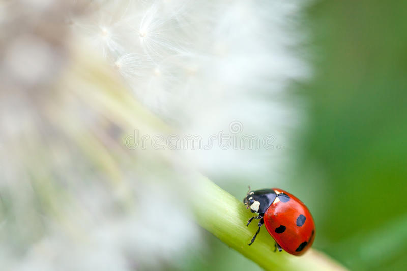 Insecte de pissenlit et de dame photo stock