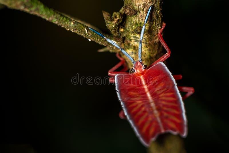Insecte de puanteur de Longan sur la feuille verte dans les forêts tropicales de phuket, Thaïlande Papillosa de Tessaratoma photos libres de droits