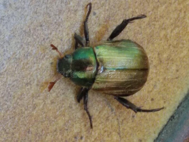 Insecte de scarabée de Milella images libres de droits