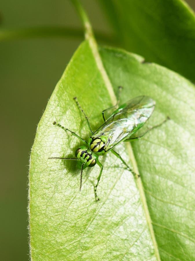 Insecte de tenthrède de vert de punctulata de Rhogogaster images libres de droits
