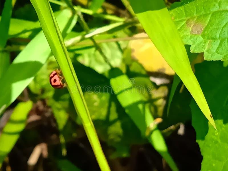 Insecte Een volwassen mannetje kleine oranje Mexicaanse boonenkastkever, vrouwenkoorts, vrouwelijk vogel Arthropoda: Insecta: Cole stock fotografie