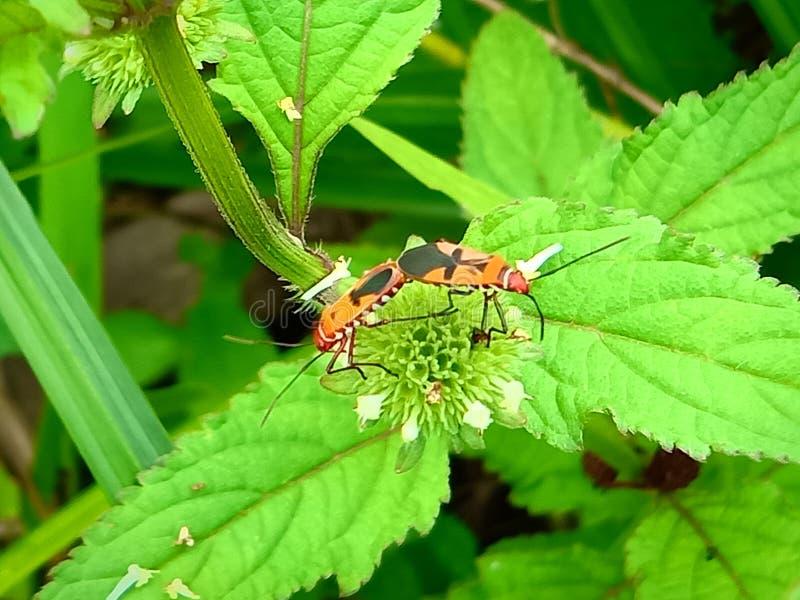 Insecte Een volwassen mannetje kleine oranje Mexicaanse boonenkastkever, vrouwenkoorts, vrouwelijk vogel Arthropoda: Insecta: Cole royalty-vrije stock fotografie