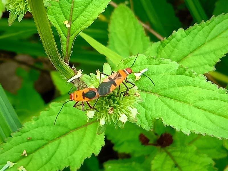 Insecte Een volwassen mannetje kleine oranje Mexicaanse boonenkastkever, vrouwenkoorts, vrouwelijk vogel Arthropoda: Insecta: Cole royalty-vrije stock afbeelding