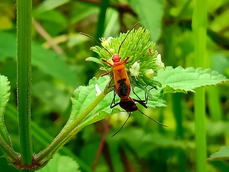 Insecte Een volwassen mannetje kleine oranje Mexicaanse boonenkastkever, vrouwenkoorts, vrouwelijk vogel Arthropoda: Insecta: Cole stock foto