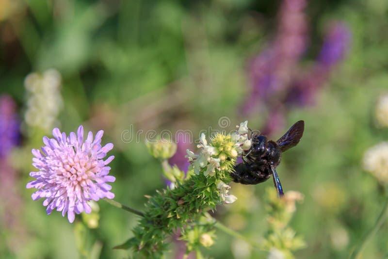 Insecte en bois sauvage d'abeille de valga de Xylocopa rassemblant le pollen d'une fleur, plan rapproché Grand charpentier d'abei photo stock