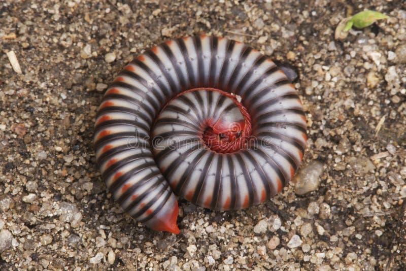 Insecte en spirale images libres de droits