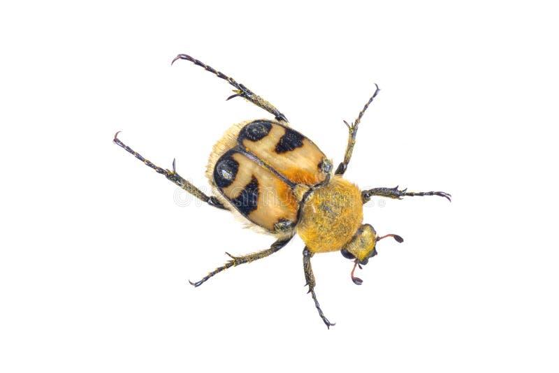 Insecte jaune coloré sur un fond blanc photo libre de droits