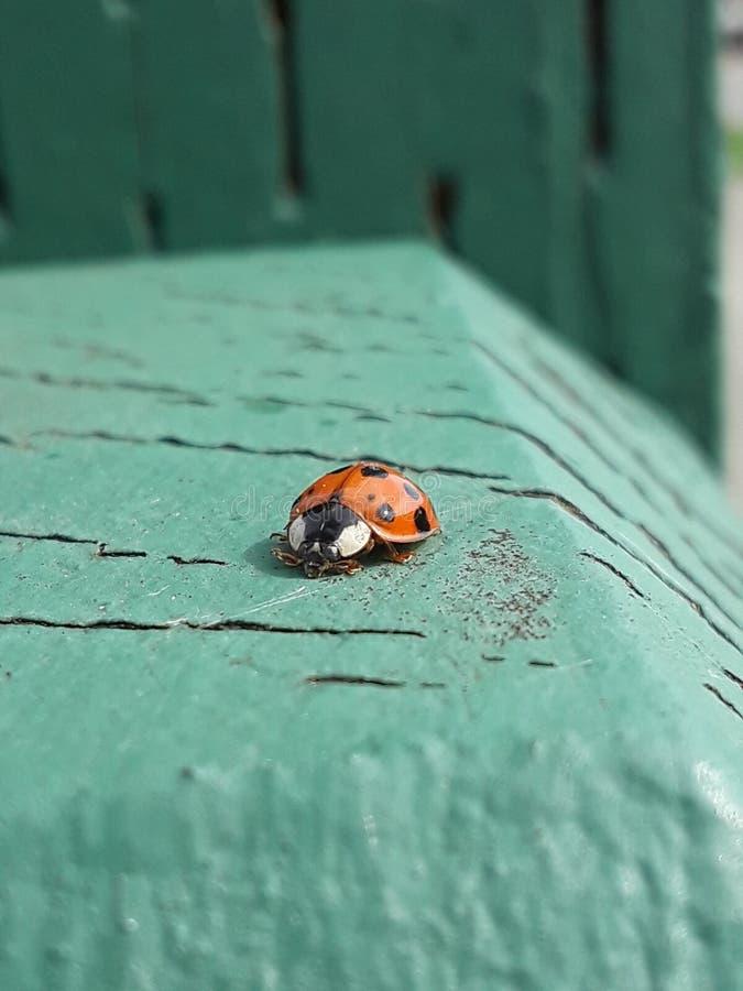 Insecte minuscule de dame photographie stock libre de droits