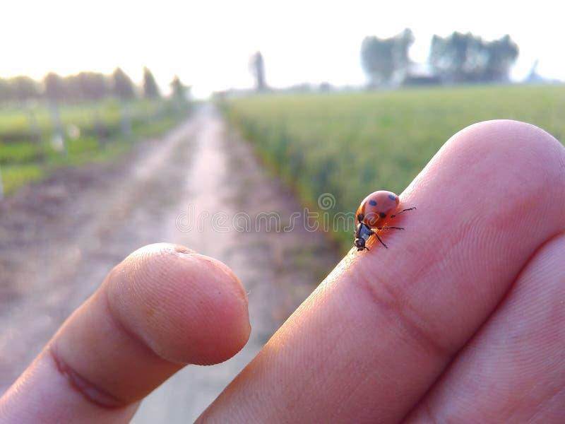 Insecte minuscule marchant sur des doigts image stock