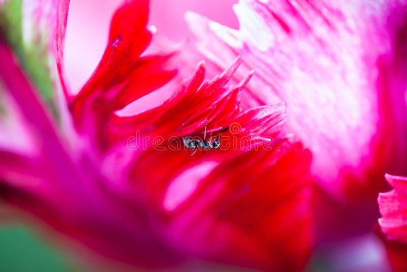 Insecte minuscule sur le pétale de la tulipe rose images stock