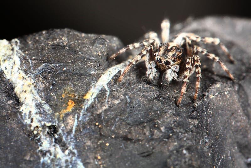 Insecte noir de pullover d'araignée petit rampant images stock