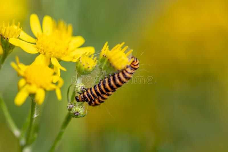 Insecte noir et jaune de chenille sur la fleur jaune image stock