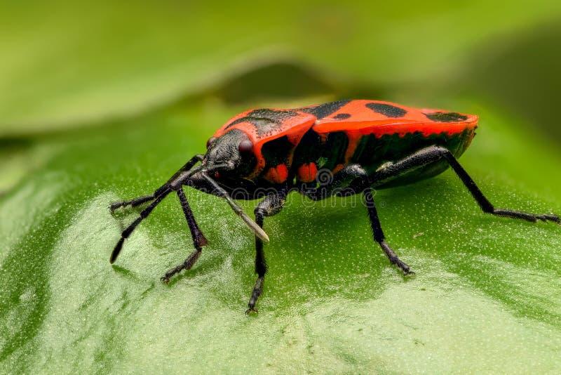 Insecte noir et rouge equestris de lygaeus photo stock image du insecte antenne 62692594 - Insecte rouge et noir ...