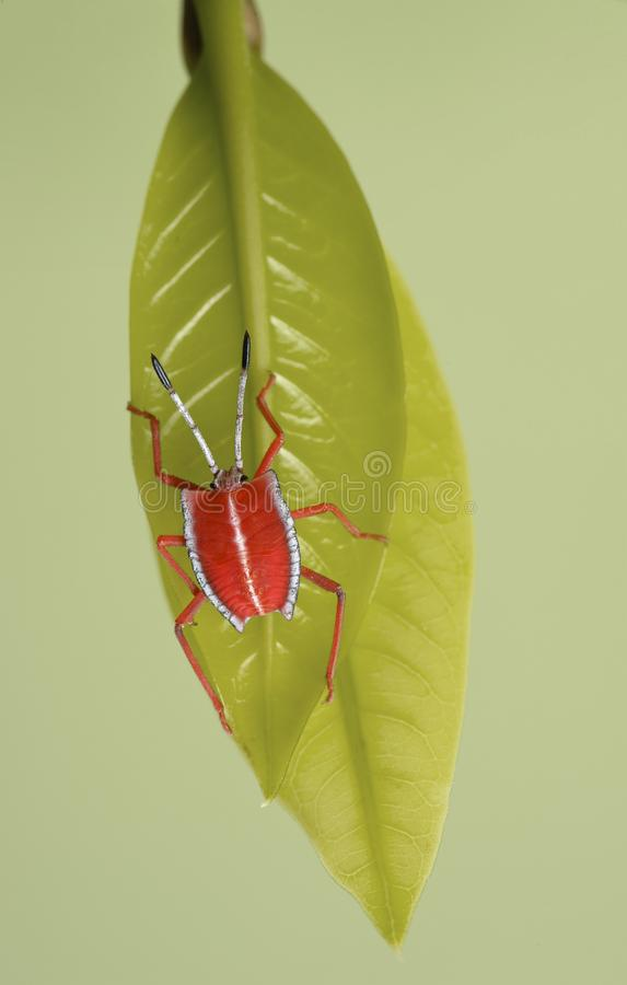 Insecte rouge photo stock