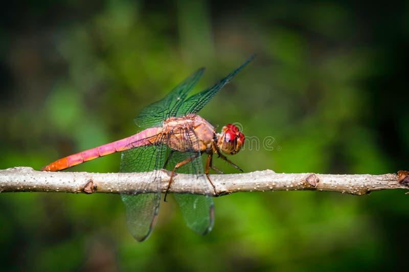 Insecte rouge de libellule se reposant sur le macro de plan rapproché de brindille images libres de droits