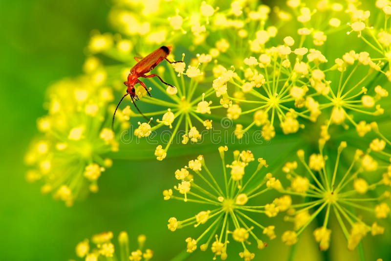 Insecte rouge sur la fleur jaune photo libre de droits