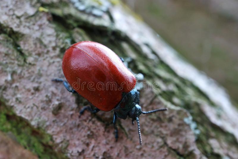 Insecte rouge sur un arbre photos stock