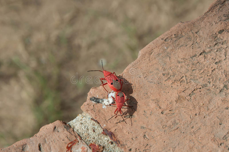 Insecte rouge Thaïlande photographie stock