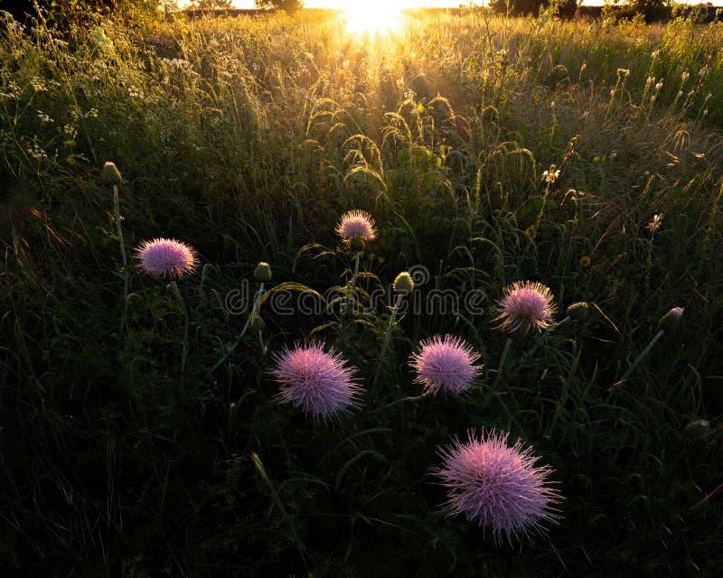 Insecte se reposant sur un Wildflower pourpre image libre de droits