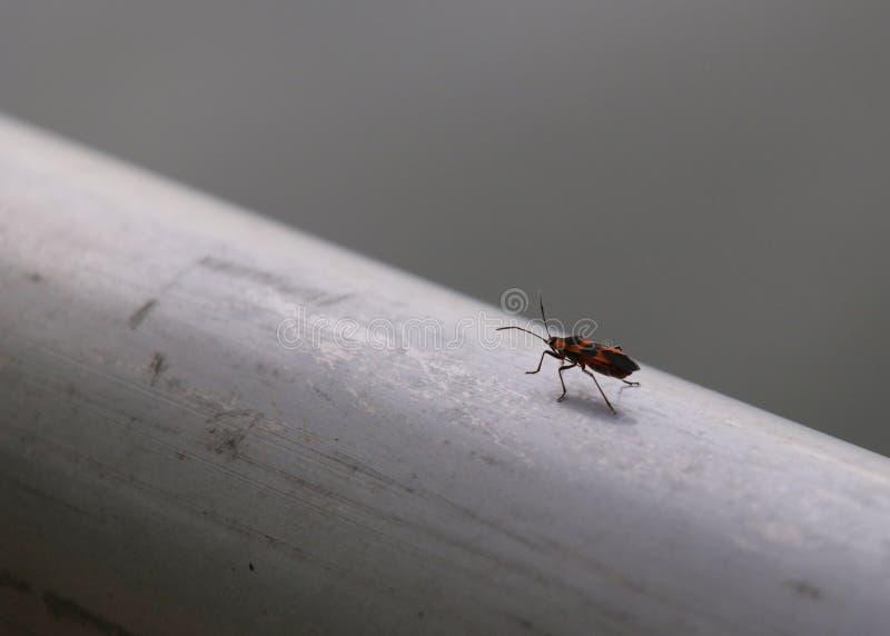 Insecte solitaire d'amour rampant sur un rail en métal images stock