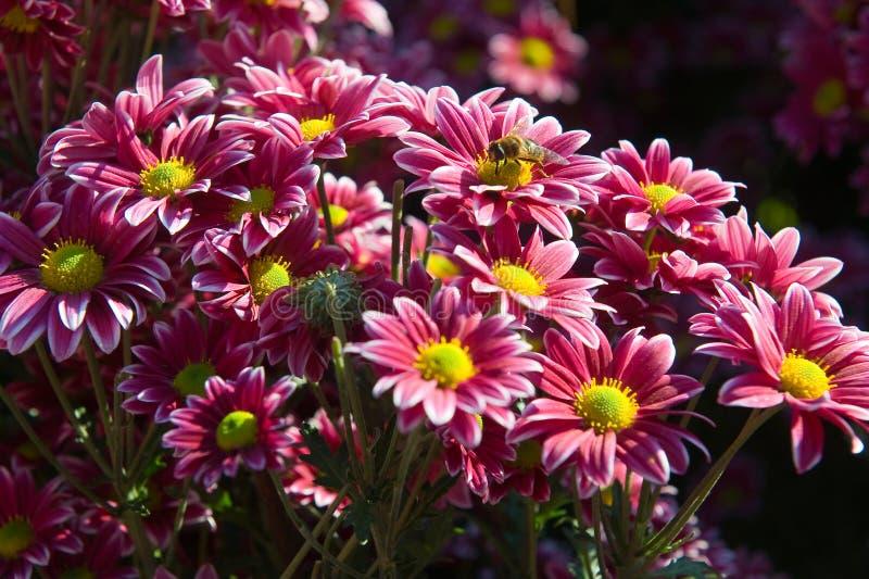 Insecte sur la fleur rose de chrysanthème photos libres de droits