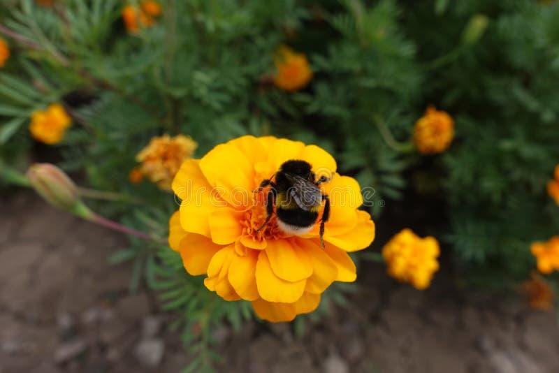Insecte sur le flowerhead orange du souci français images libres de droits
