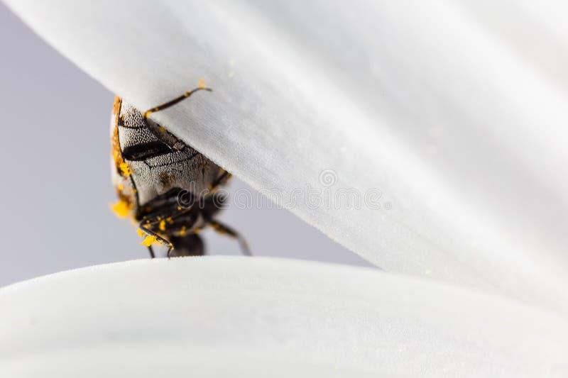 Insecte sur le pétale photographie stock libre de droits