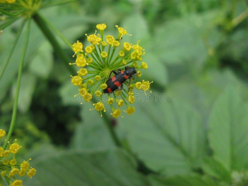 Insecte sur un fenouil bloomy 4 photos stock