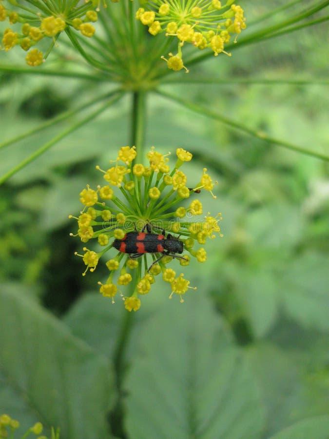 Insecte sur un fenouil bloomy 9 image libre de droits