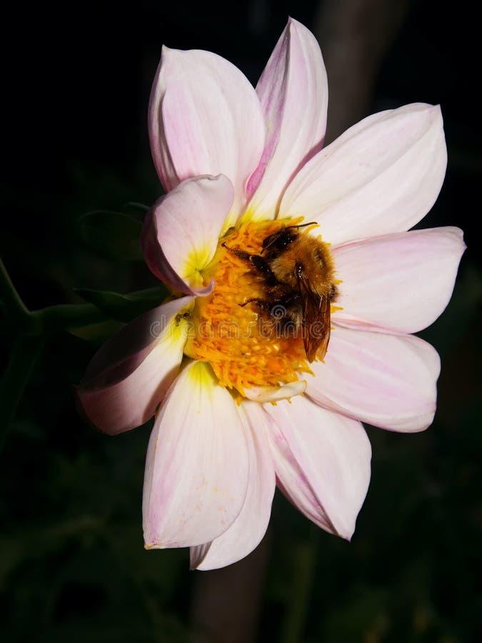 Insecte un bourdon dormant sur une fleur photo libre de droits